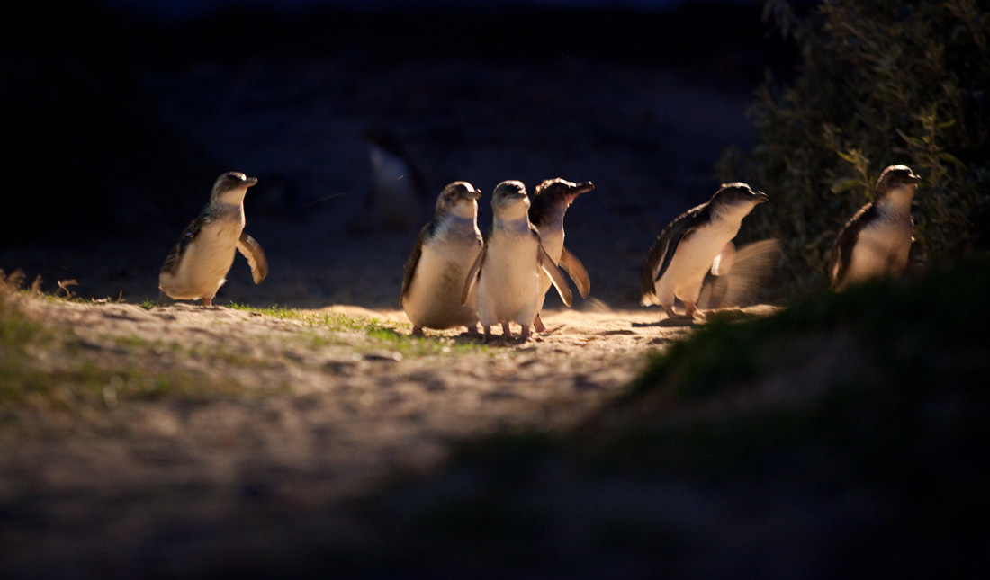 The little blue penguin parade